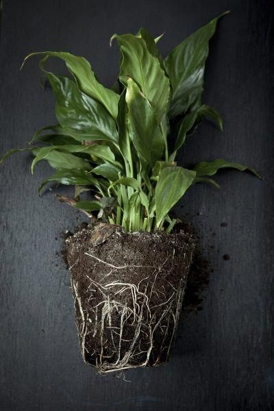 Don't forget to keep an eye on when you need to re-pot. A rootbound Peace Lily isn't able to absorb the fertiliser, nutrients or water it needs when the roots have nowhere left to go! Image via Gardening Know How.