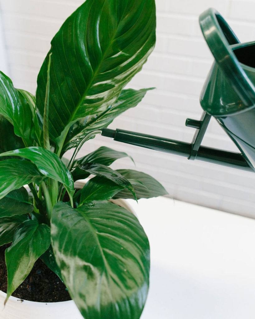 Don't worry if your Peace Lily wilts - it just needs a good drink!